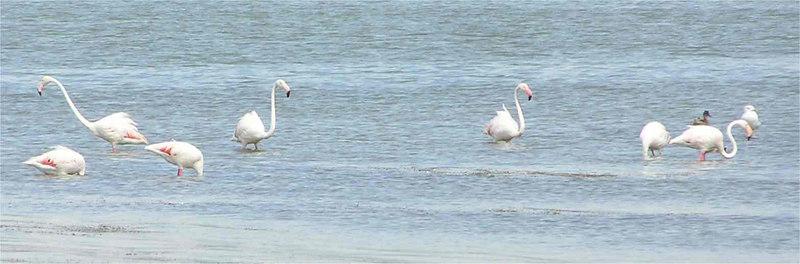 Sardinia_Flamingo_Sept2006