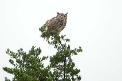 Great Horned Owl - Balcones Canyonlands, TX