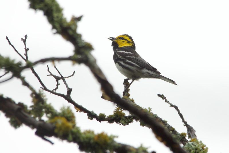 Golden-cheeked Warbler - Balcones Canyonlands, TX