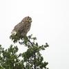 Great Horned Owl - Balcones Canyonlands, TX