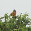 Painted Bunting - Balcones Canyonlands, TX
