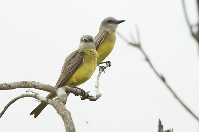 Tropical Kingbird - King Ranch (Norias Division)