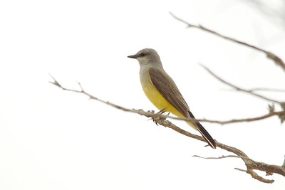 Western Kingbird - Giddings, TX