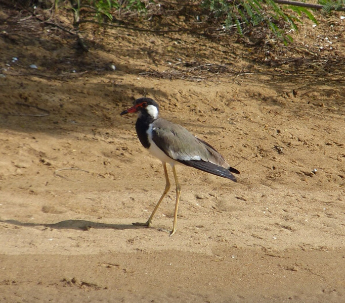Red - Wattled Lapwing