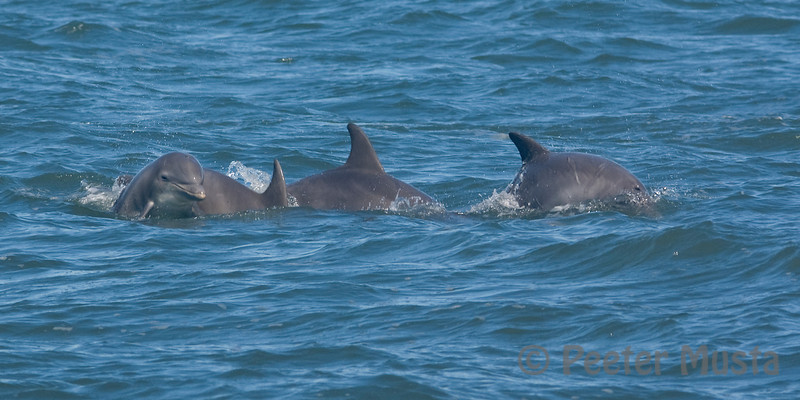 Wild Dolphins in Cheseapeake Bay