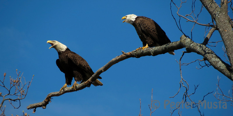 A pair of Eagles demonstrating courtship behaviour was a treat to behold.