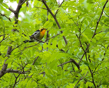 Birding Cherohala with Mike Nelson