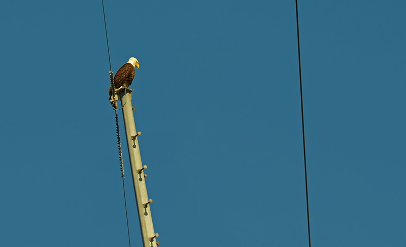 American Bald Eagle in Jekyll Creek 10-17-18