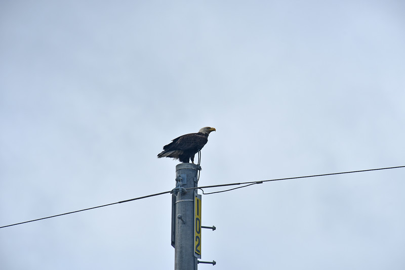American Bald Eagle on Post 102 on Jekyll Island Causeway 04-04-18