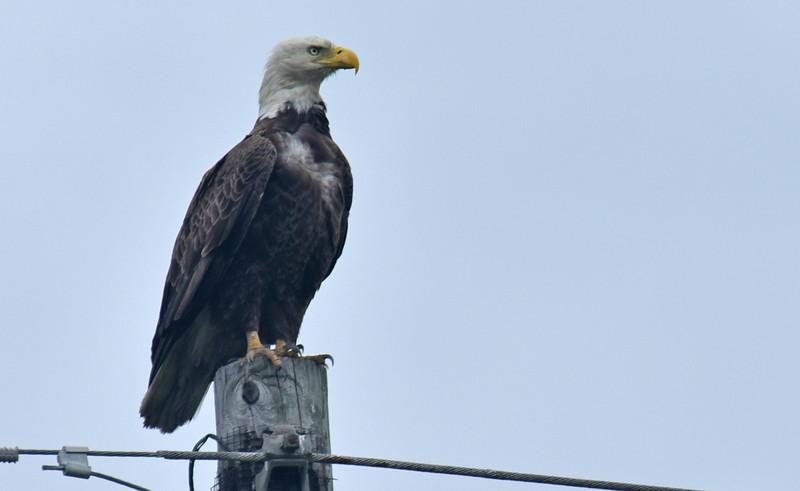 American Bald Eagle on Jekyll Island Causeway 04-08-18