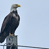 American Bald Eagle on Jekyll Island Causeway 04-08-18