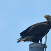 American Bald Eagle on Post 102 on Jekyll Island Causeway 04-04-18