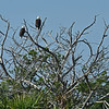 Pair of American Bald Eagles on the Frederica River 09-28-18