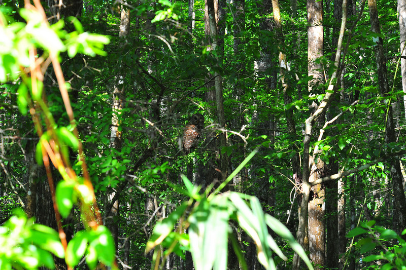 Barred Owl in Tree Preserve off GA341 near Brunswick, Georgia