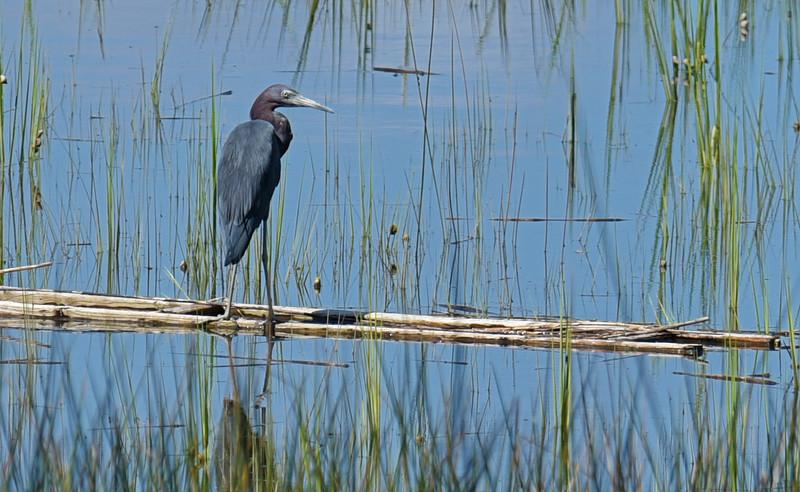 Great Blue Heron at 309RR 09-11-18