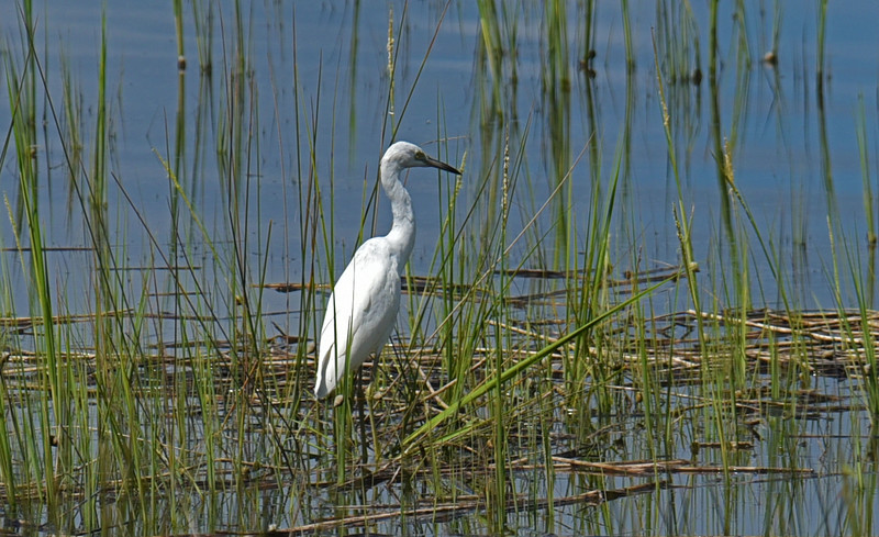 White Egret at 309RR 09-11-18