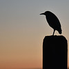 Night Heron Silhoutte Blu-in-Hall Marina 6:12 AM 10-25-17