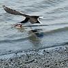 Black Skimmer at Jekyll Wharf 05-17-19