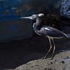 Tri-Colored Heron at Jekyll Wharf 03-21-19