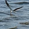 Black Skimmer at Jekyll Wharf 03-21-19