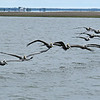 Brown Pelican Fly Over at Jekyll Island 04-08-18