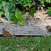 Brown Thresher feeding chick in Brunswick, Georgia - Georgia State bird in backyard setting