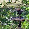 Cardinal in Birdbath at 309RR 10-28-18