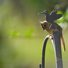 Cardinal - female - 309RR - 05-27-12