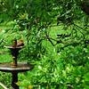 Cardinal in Birdbath at 309RR