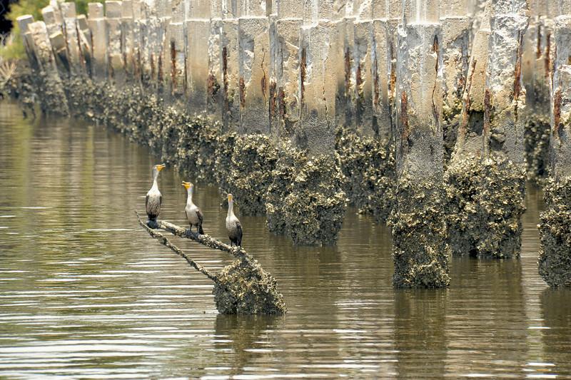 Cormorants at East River in Brunswick, Georgia