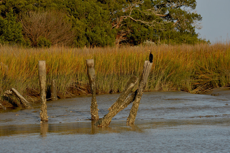Cormorant at Little Mud River Forgotten Landing onto Wolf Island, Georgia 11-24-10