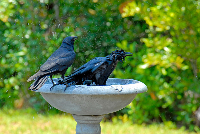 One and Two Crows enjoying a bath at the Crooked River State Park in St. Mary's, Georgia inside the Long Leaf Pine Forest at a bird blind. Believed to be Crows, not Ravens
