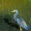 Wildlife at Ding Darling Refuge on Sanibel Island, Florida