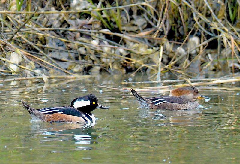 Hooded Merganser Ducks in Jekyll Creek, Georgia  02-01-11