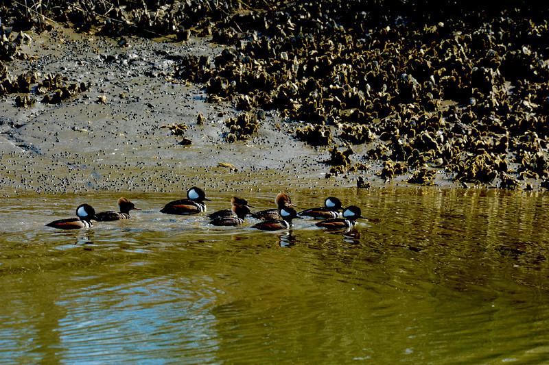 Hooded Merganser Ducks in Jekyll Creek on the ICW (Intracoastal Waterway) at Jekyll Island, Georgia 01-30-11