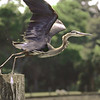 Great Blue Heron at Jekyll Island, Georgia