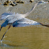 Great Blue Heron in Jekyll Creek on the ICW (Intracoastal Waterway) at Jekyll Island, Georgia 01-30-11