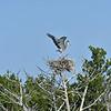 Great Blue Heron Nests near Epworth 07-17-19