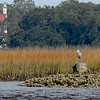 Great Blue Heron near Cumberland Island, Georgia off the Intracoastal Waterway (ICW) in the Cumberland River
