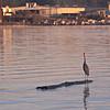 Great Blue Heron on Log Floating by on Savannah River in Savannah, GA