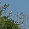 Great Egret at Nest across from Epworth 05-08-19