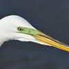 Great White Egret at Jekyll Wharf 04-05-18