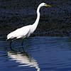 Great Egret at Jekyll Wharf on Jekyll Island, Georgia