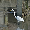 Great White Egret at Jekyll Wharf 04-05-18