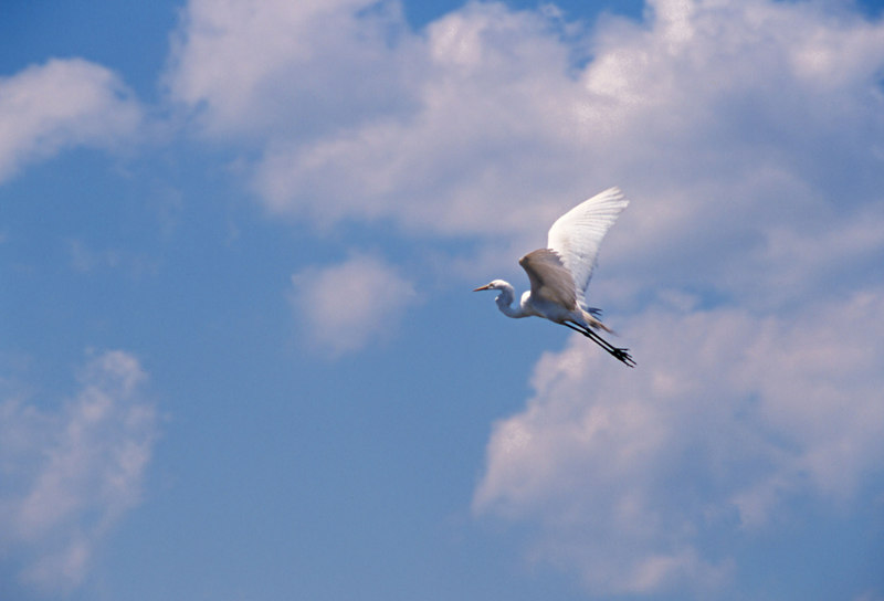 Great Egret Flying in Clouds near Jekyll Island, Georgia