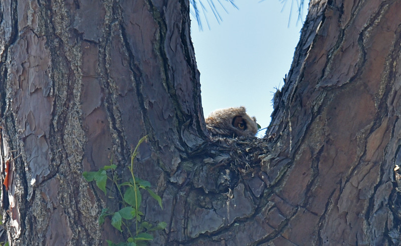 Baby Owls in Nest at Jekyll Island, Georgia 04-03-18