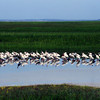 Flock of Ibis on Jekyll Island Causeway at Jekyll Island, Georgia