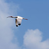 White Ibis Flying - used for manipulated to pencil format - jekyll Island, Georgia
