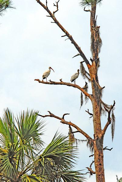 Pair of White Ibis in Tree on Marsh Edge