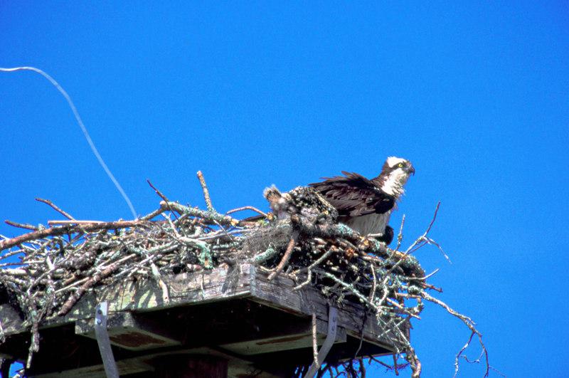 http://www.southeasternphotography.com/Nature/Birding-Galleries/Ospreys/i-4ZRnnsq/1/L/Ospreypoop1-L.jpg